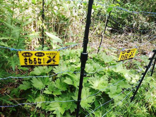 シラネアオイ 鹿の食害を防ぐ電気柵