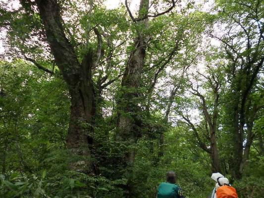鳩待峠への深い森は巨木の森林
