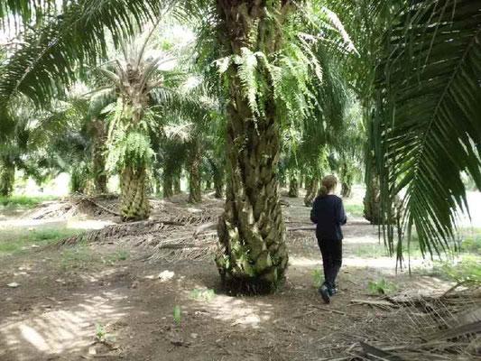 アブラヤシの林の中で