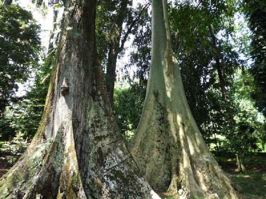 ボゴール植物園・赤ラワンの板根