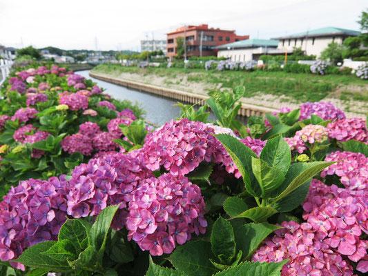 境川サイクリングロード - 県道451号藤沢大和自転車道線 - 大清水境川アジサイロード