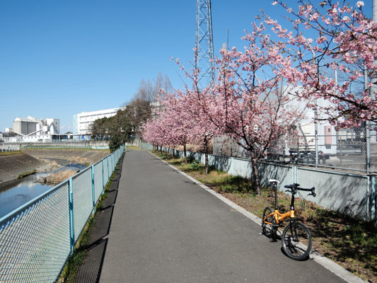 境川サイクリングロード - 県道451号藤沢大和自転車道 - 上瀬谷の河津桜