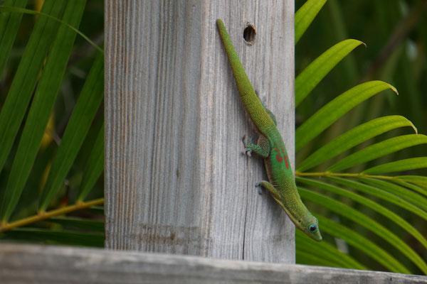 Gecko vert Ile de la Réunion
