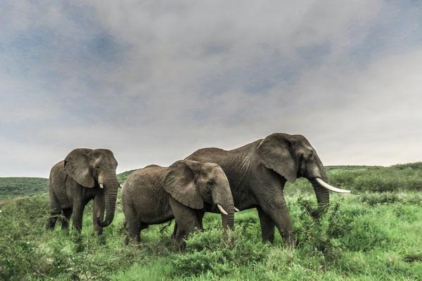 Les éléphants de Thula Thula
