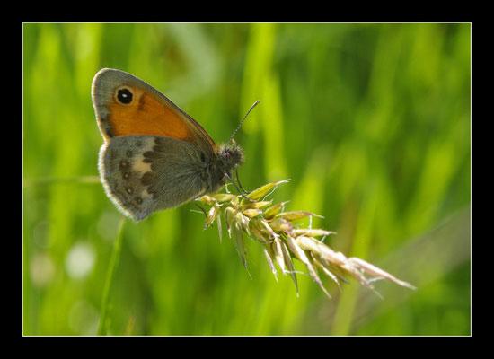 """Papillon """"le tristan"""""""