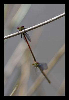 Nymphe au corps de feu  (Pyrrhosoma nymphula)