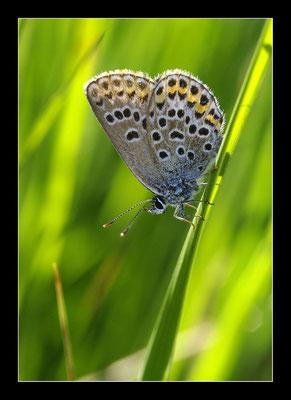 Papillon Argus