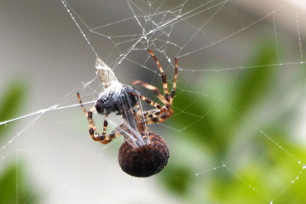 Regina Reininghaus - Spinne spinnt