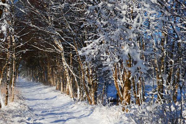 Angelika Novak - winterliche Moorbirkengasse