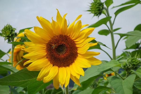 Hermann Wirtz - Sag es duch die Sonnen-Blume