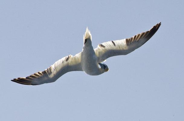 Sturmvogel über der Fähre