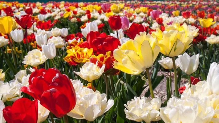 überall Tulpen 2