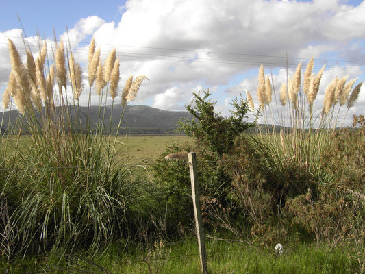 Pampasgras in der Pampa