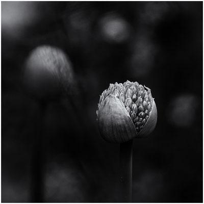 Uta Gronau - Allium2