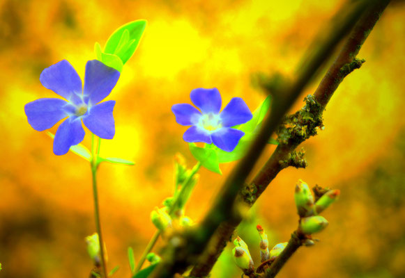 blaues Immergrün