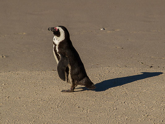 afrikanische Pinguin ( Spheniscus demersus) oder Kappinguin