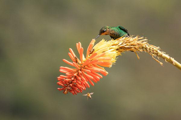 Grünstirn-Brillantkolibri  (Heliodoxa jacula) - junges Männchen