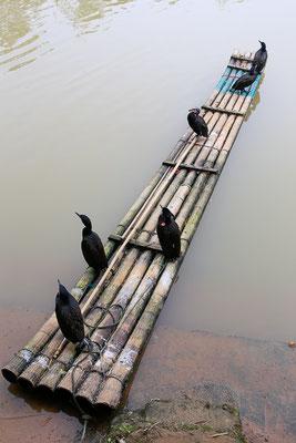 Kormoran (Phalacrocorax carbo) - aufgenommen in China