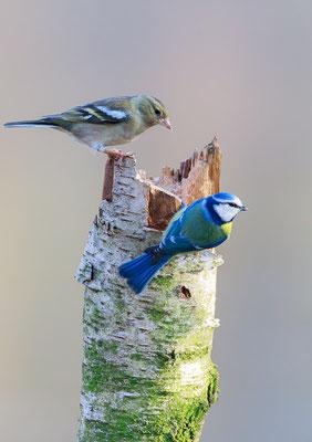 Buchfink (Fringilla coelebs) und Blaumeise