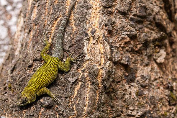 Malachitgrüner Stachelleguan (Sceloporus malachiticus)