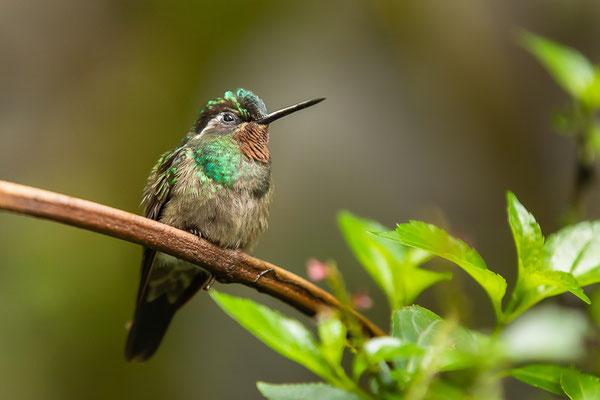 Purpurkehlnymphe (Lampornis calolaemus) - Männchen
