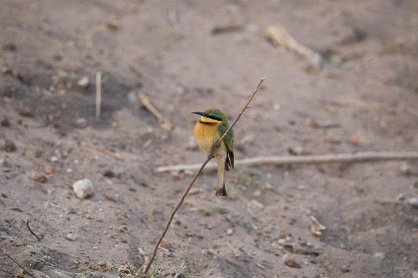 Zwergspint (Merops pusillus)