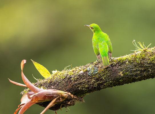 Kappennaschvogel (Chlorophanes spiza), Weibchen