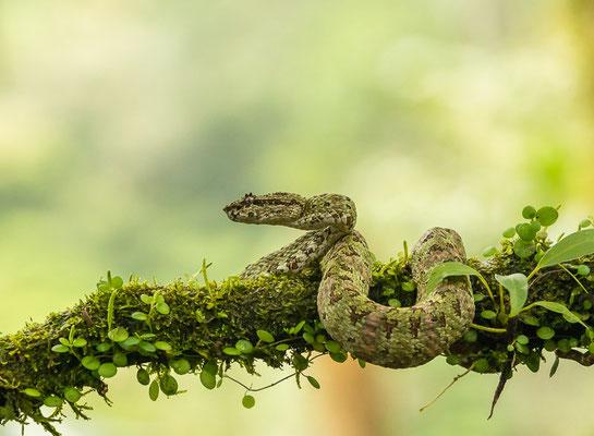 Greifschwanz-Lanzenotter (Bothriechis schlegelii) - Weibchen