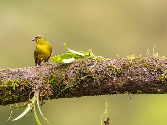 Olivrückenorganist (Euphonia gouldi) - Weibchen