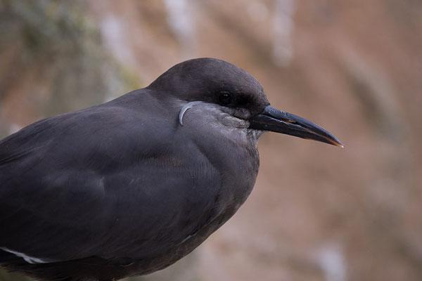 Inkaseeschwalbe (Larosterna inca)
