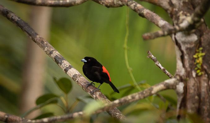 Passerinitangare (Ramphocelus passerinii) - Männchen