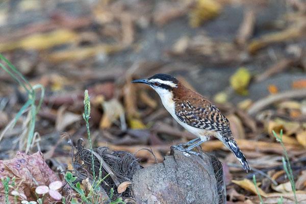 Veracruz-Zaunkönig (Campylorhynchus rufinucha)
