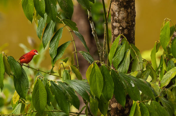 Sommerkardinal (Piranga rubra)