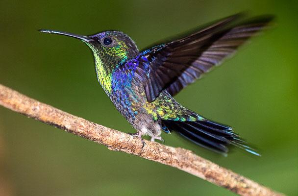 Violettkronennymphe (Thalurania colombica)  - Männchen