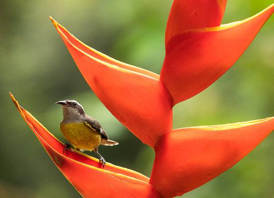 Zuckervogel (Coereba flaveola)