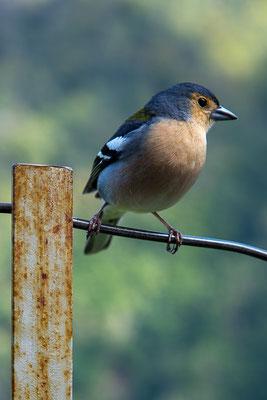 Madeira-Buchfink (Fringilla coeleba madeirensis)