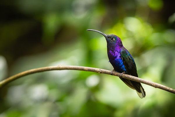 Violettdegenflügel (Campylopterus hemileucurus)