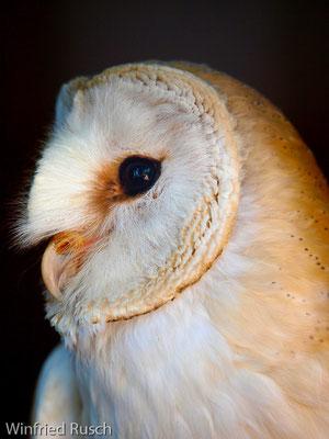 Schleiereule (Typto alba)