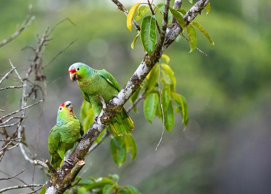 Gelbwangenamazone (Amazona autumnalis)