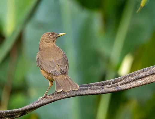 Gilbdrossel (Turdus grayi)