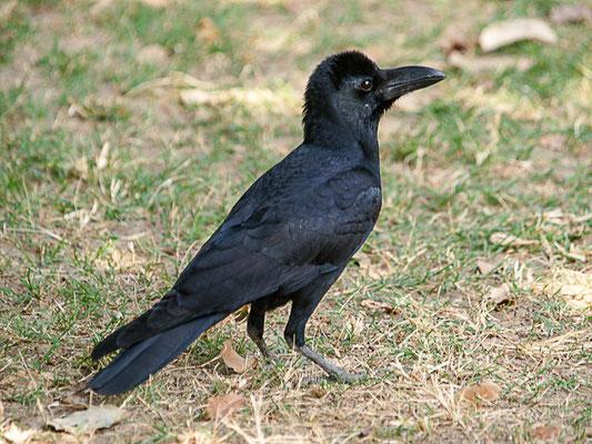 Indische Dschungelkrähe (Corvus macrorhynchos)