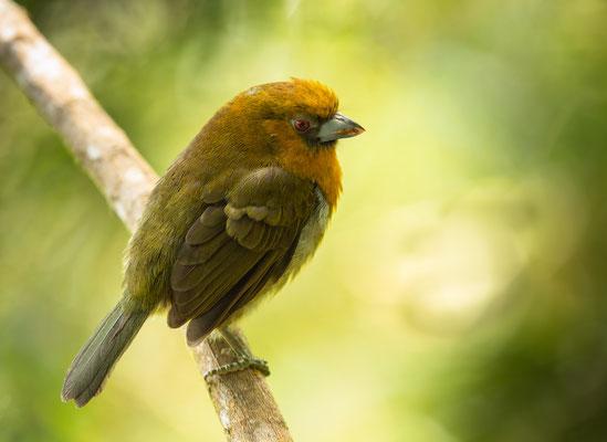 Aztekenbartvogel (Semnornis frantzii)