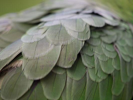 Olivenkehl Sittich (Eupsittula nana)