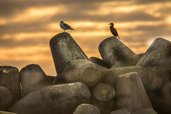 Kormoran (Phalacrocorax carbo) - aufgenommen auf Helgoland