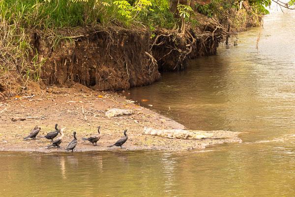 Kormoran (Phalacrocorax carbo) - aufgenommen in Costa Rica