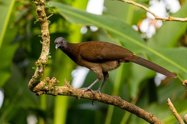 Graukopfguan (Ortalis cinereiceps)