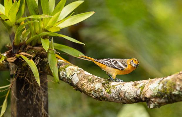 Baltimoretrupial (Icterus galbula), Weibchen