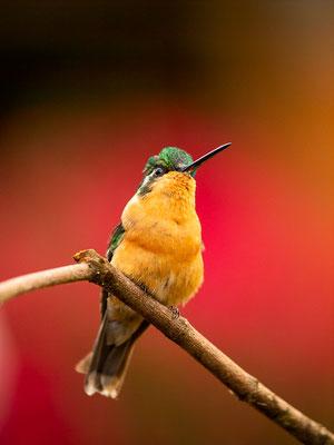 Purpurkehlnymphe (Lampornis calolaemus) - Weibchen