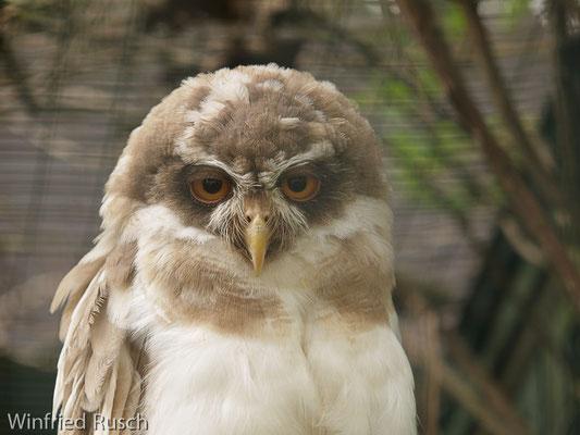 Brillenkauz (Pulsatrix perspicillata)