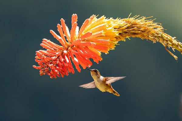 Orangekehlelfe (Selasphorus scintilla)